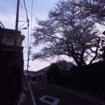 桜と春の嵐